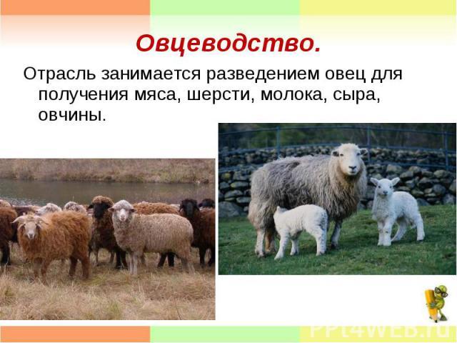 Отрасль занимается разведением овец для получения мяса, шерсти, молока, сыра, овчины. Отрасль занимается разведением овец для получения мяса, шерсти, молока, сыра, овчины.