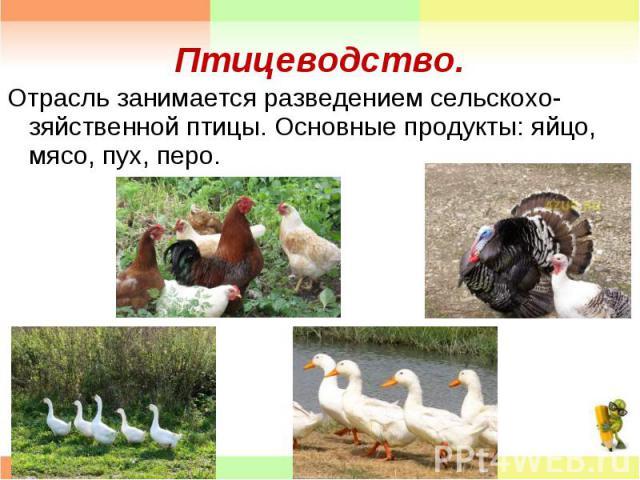 Отрасль занимается разведением сельскохо- зяйственной птицы. Основные продукты: яйцо, мясо, пух, перо. Отрасль занимается разведением сельскохо- зяйственной птицы. Основные продукты: яйцо, мясо, пух, перо.