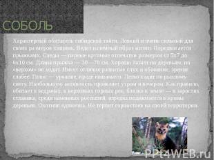 СОБОЛЬ Характерный обитатель сибирской тайги. Ловкий и очень сильный для своих р