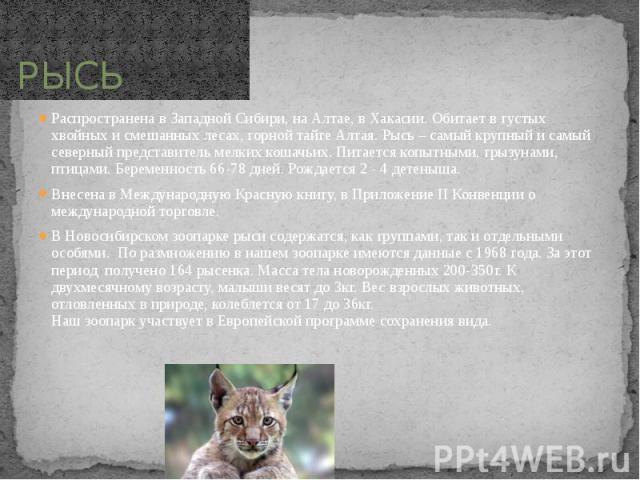 РЫСЬ Распространена в Западной Сибири, на Алтае, в Хакасии. Обитает в густых хвойных и смешанных лесах, горной тайге Алтая. Рысь – самый крупный и самый северный представитель мелких кошачьих. Питается копытными, грызунами, птицами. Беременность 66-…