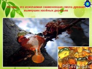 """Янтарь - это ископаемая окаменевшая смола древних вымерших хвойных деревьев """"Янт"""