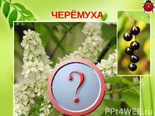ЧЕРЁМУХА Цветки - белые, кистями, Плоды - черные, с костями.