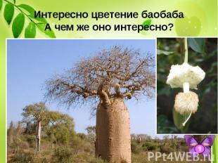 Интересно цветение баобаба А чем же оно интересно? Его благоухающие цветы раскры
