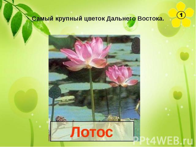 Самый крупный цветок Дальнего Востока.