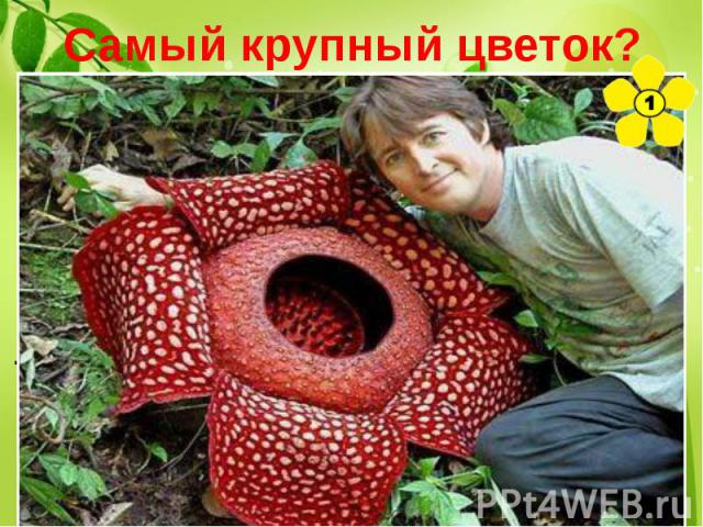 Самый крупный цветок? Раффлезия. размеры цветка могут превышать в диаметре 1 метр, а вес более 10 килограмм. «Аромат» этих цветков похож на запах тухлого мяса.