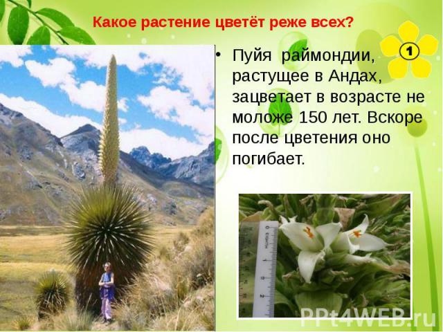 Какое растение цветёт реже всех? Пуйя раймондии, растущее в Андах, зацветает в возрасте не моложе 150 лет. Вскоре после цветения оно погибает.