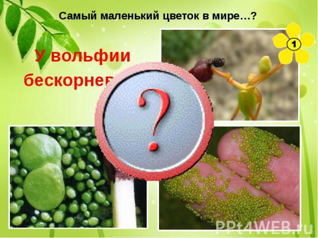Самый маленький цветок в мире…? У вольфии бескорневой