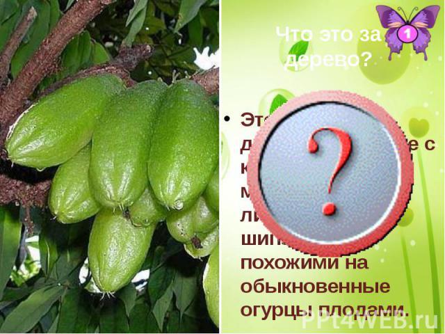 Это огуречное дерево - растение с колючими морщинистыми листьями, шипастыми, похожими на обыкновенные огурцы плодами. Это огуречное дерево - растение с колючими морщинистыми листьями, шипастыми, похожими на обыкновенные огурцы плодами.