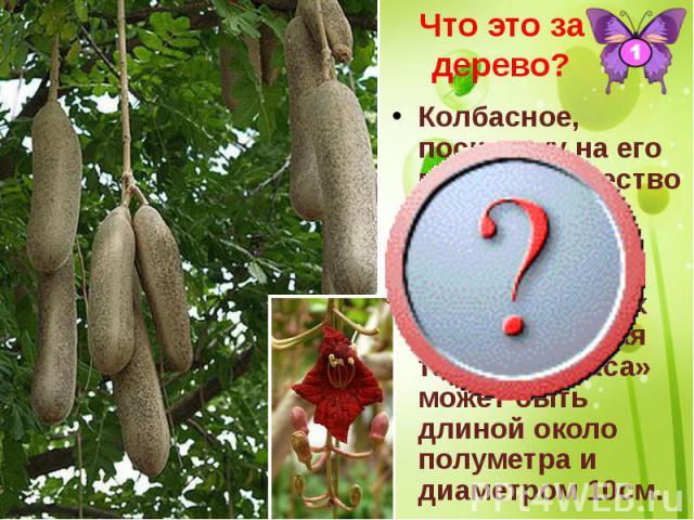 Что это за дерево? Колбасное, поскольку на его ветвях множество бурых на длинных плодоножках колбасовидных плодов. Каждая такая «колбаса» может быть длиной около полуметра и диаметром 10см.