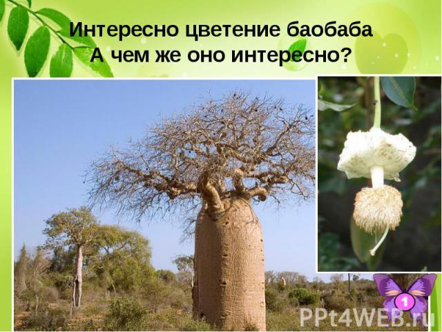 Интересно цветение баобаба А чем же оно интересно? Его благоухающие цветы раскрываются всего один раз и тот – ночью. И после этого их лепестки сразу опадают.