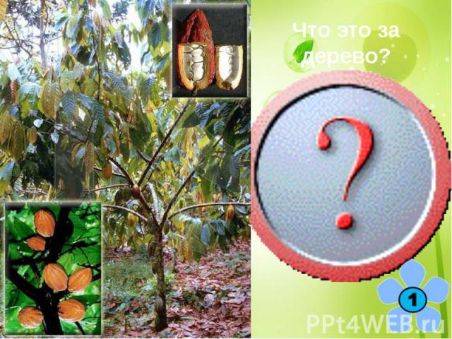 Что это за дерево? Какао, или шоколадное дерево.