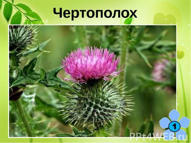 Чертополох Какой цветок является символом Шотландии?