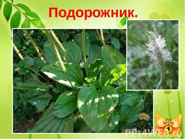 Подорожник. Индейцы называли это растение – «след белого человека». А как называем его мы?