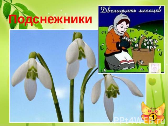 Подснежники Какие цветы, в одном из своих произведений, известный писатель С.Я. Маршак заставил цвести в феврале?