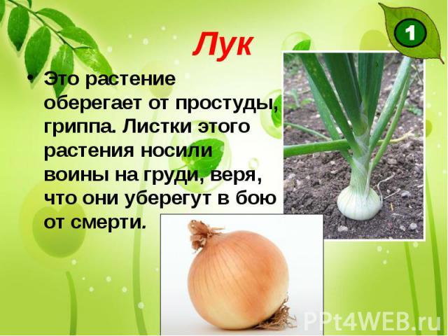 Лук Это растение оберегает от простуды, гриппа. Листки этого растения носили воины на груди, веря, что они уберегут в бою от смерти.