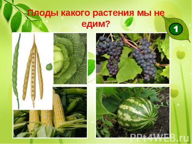 Плоды какого растения мы не едим?