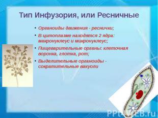 Тип Инфузория, или Ресничные Органоиды движения - реснички; В цитоплазме находят