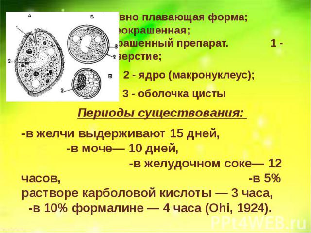 А - активно плавающая форма; Б - циста неокрашенная; В - циста - окрашенный препарат. 1 - ротовое отверстие; А - активно плавающая форма; Б - циста неокрашенная; В - циста - окрашенный препарат. 1 - ротовое отверстие; 2 - ядро (макронуклеус); 3 - об…