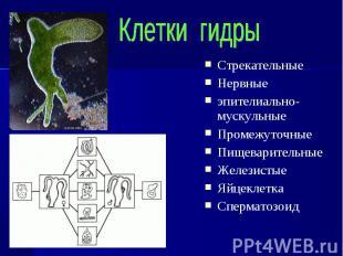Стрекательные Стрекательные Нервные эпителиально-мускульные Промежуточные Пищева