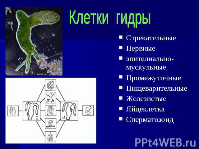 Стрекательные Стрекательные Нервные эпителиально-мускульные Промежуточные Пищеварительные Железистые Яйцеклетка Сперматозоид