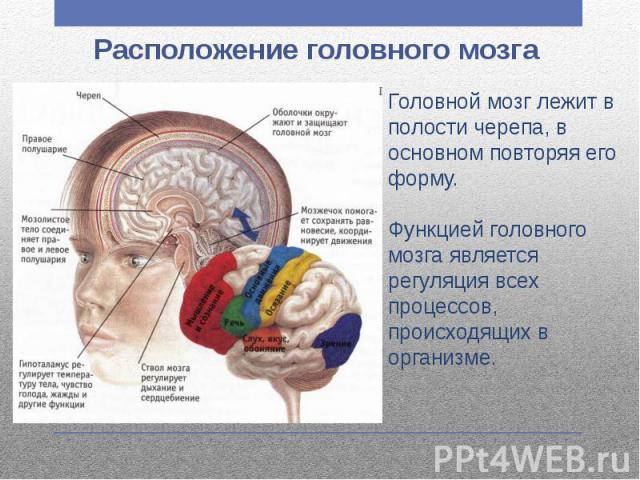 Расположение головного мозга