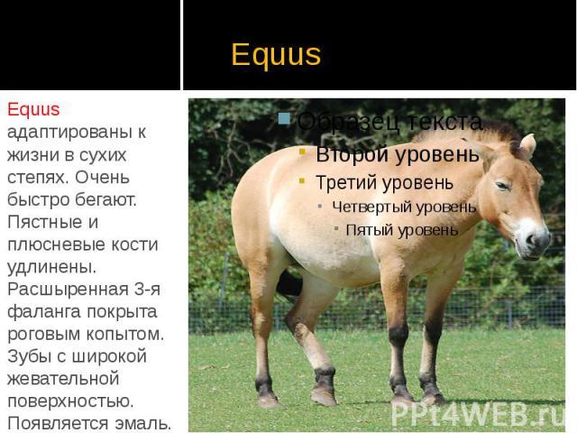 Equus Equus адаптированы к жизни в сухих степях. Очень быстро бегают. Пястные и плюсневые кости удлинены. Расшыренная 3-я фаланга покрыта роговым копытом. Зубы с широкой жевательной поверхностью. Появляется эмаль.