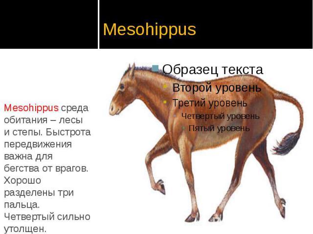 Mesohippus Mesohippus среда обитания – лесы и степы. Быстрота передвижения важна для бегства от врагов. Хорошо разделены три пальца. Четвертый сильно утолщен.
