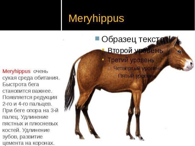 Meryhippus Meryhippus очень сухая среда обитания. Быстрота бега становится важнее. Появляется редукция 2-го и 4-го пальцев. При беге опора на 3-й палец. Удлинение пястных и плюсневых костей. Удлинение зубов, развитие цемента на коронах.
