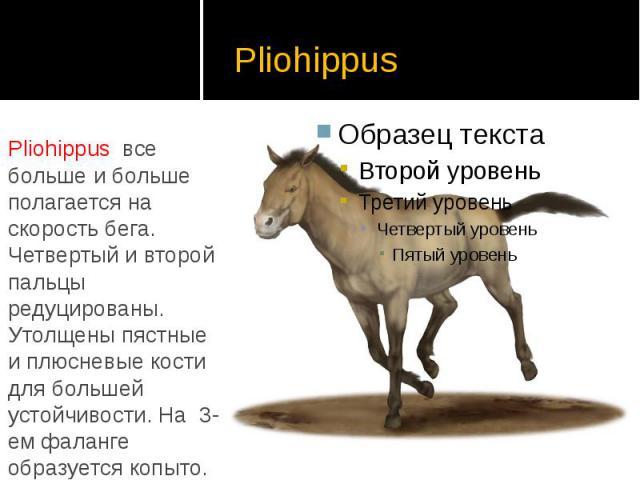Pliohippus Pliohippus все больше и больше полагается на скорость бега. Четвертый и второй пальцы редуцированы. Утолщены пястные и плюсневые кости для большей устойчивости. На 3-ем фаланге образуется копыто.