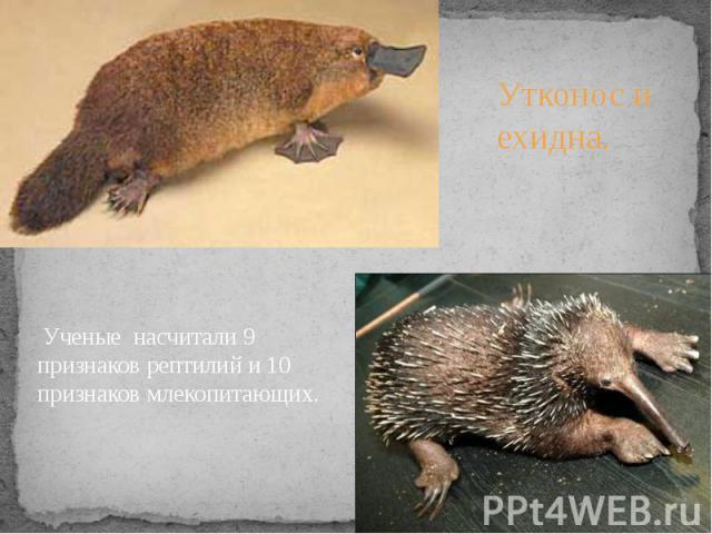Ученые насчитали 9 признаков рептилий и 10 признаков млекопитающих.