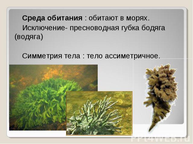 Среда обитания : обитают в морях. Среда обитания : обитают в морях. Исключение- пресноводная губка бодяга (водяга) Симметрия тела : тело ассиметричное.