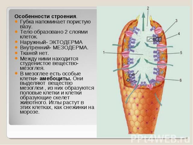 Особенности строения. Особенности строения. Губка напоминает пористую вазу. Тело образовано 2 слоями клеток. Наружный- ЭКТОДЕРМА Внутренний- МЕЗОДЕРМА. Тканей нет. Между ними находится студенистое вещество- мезоглея. В мезоглее есть особые клетки- а…