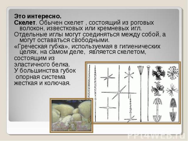 Это интересно. Это интересно. Скелет. Обычен скелет , состоящий из роговых волокон, известковых или кремневых игл. Отдельные иглы могут соединяться между собой, а могут оставаться свободными. «Греческая губка», используемая в гигиенических целях, на…