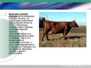 Красная степная порода была выведена в конце 18 века, на территории нынешней Зап