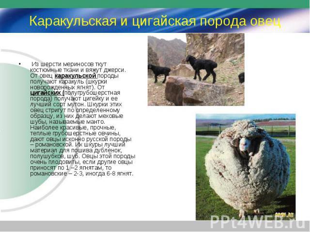 Из шерсти мериносов ткут костюмные ткани и вяжут джерси. От овец каракульской породы получают каракуль (шкурки новорожденных ягнят). От цигайских (полугрубошерстная порода) получают цигейку и ее лучший сорт мутон. Шкурки этих овец стригут по определ…