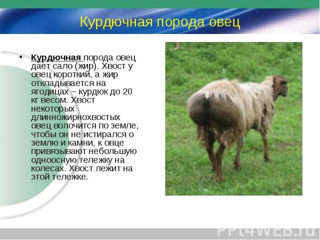 Курдючная порода овец дает сало (жир). Хвост у овец короткий, а жир откладывается на ягодицах – курдюк до 20 кг весом. Хвост некоторых длинножирнохвостых овец волочится по земле, чтобы он не истирался о землю и камни, к овце привязывают небольшую од…