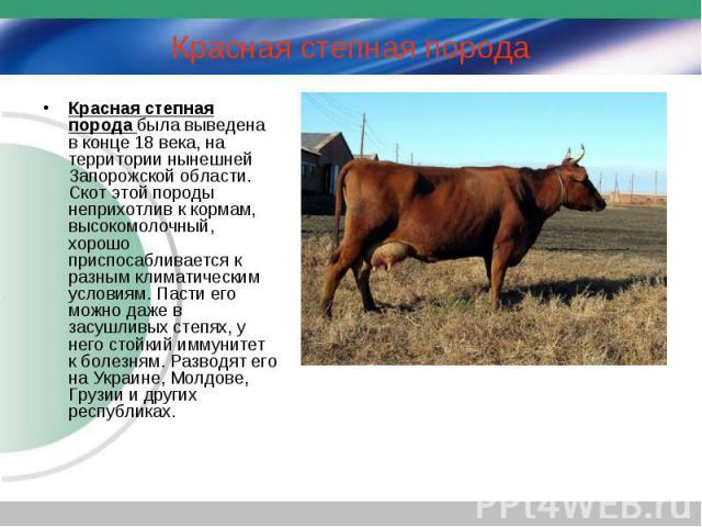 Красная степная порода была выведена в конце 18 века, на территории нынешней Запорожской области. Скот этой породы неприхотлив к кормам, высокомолочный, хорошо приспосабливается к разным климатическим условиям. Пасти его можно даже в засушливых степ…