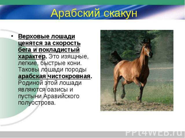 Верховые лошади ценятся за скорость бега и покладистый характер. Это изящные, легкие, быстрые кони. Таковы лошади породы арабская чистокровная. Родиной этой лошади являются оазисы и пустыни Аравийского полуострова. Верховые лошади ценятся за скорост…