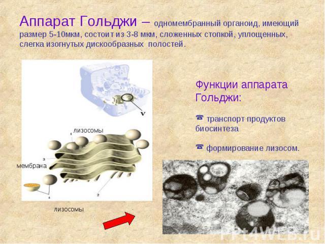 Аппарат Гольджи – одномембранный органоид, имеющий размер 5-10мкм, состоит из 3-8 мкм, сложенных стопкой, уплощенных, слегка изогнутых дискообразных полостей.