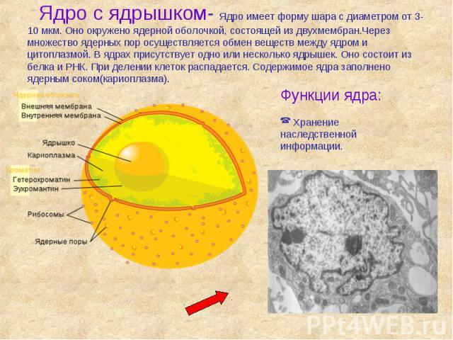 Ядро с ядрышком- Ядро имеет форму шара с диаметром от 3-10 мкм. Оно окружено ядерной оболочкой, состоящей из двухмембран.Через множество ядерных пор осуществляется обмен веществ между ядром и цитоплазмой. В ядрах присутствует одно или несколько ядры…