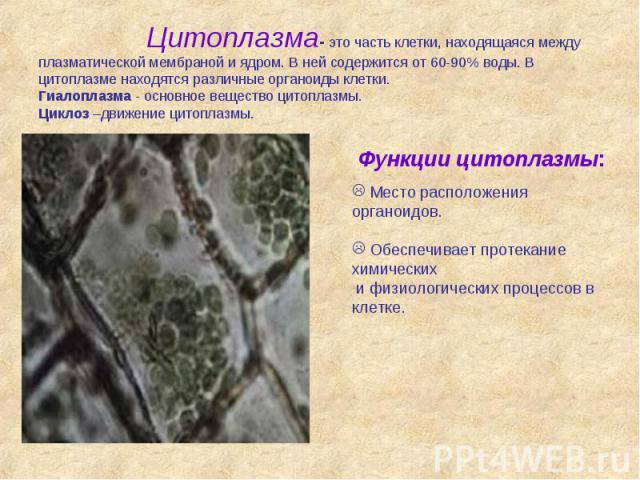 Цитоплазма- это часть клетки, находящаяся между плазматической мембраной и ядром. В ней содержится от 60-90% воды. В цитоплазме находятся различные органоиды клетки. Гиалоплазма - основное вещество цитоплазмы. Циклоз –движение цитоплазмы.