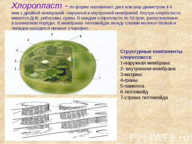 Хлоропласт - по форме напоминает диск или шар диаметром 4-6 мкм с двойной мембраной –наружной и внутренней мембраной. Внутри хлоропласта имеются ДНК, рибосомы, граны. В каждом хлоропласте по 50 гран, расположенных в шахматном порядке. В мембранах ти…