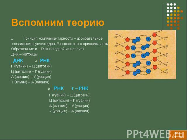 Вспомним теорию Принцип комплементарности – избирательное соединение нуклеотидов. В основе этого принципа лежит Образование и – РНК на одной из цепочек ДНК – матрицы. ДНК и - РНК Г (гуанин) – Ц (цитозин) Ц (цитозин) – Г (гуанин) А (аденин) – У (урац…