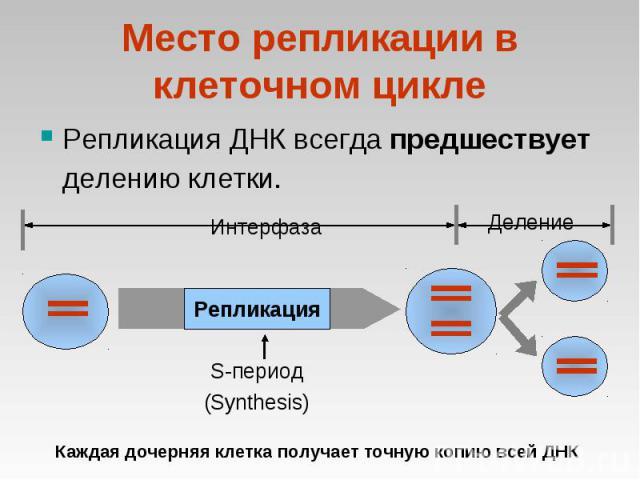 Репликация ДНК всегда предшествует делению клетки. Репликация ДНК всегда предшествует делению клетки.