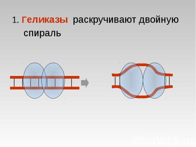 1. Геликазы раскручивают двойную спираль 1. Геликазы раскручивают двойную спираль
