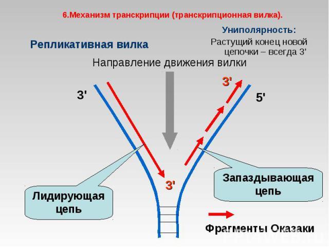 Униполярность: Униполярность: Растущий конец новой цепочки – всегда 3'