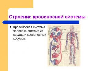 Строение кровеносной системы Кровеносная система человека состоит из сердца и кр