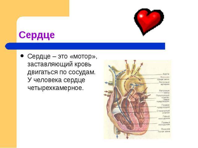 Сердце Сердце – это «мотор», заставляющий кровь двигаться по сосудам. У человека сердце четырехкамерное.