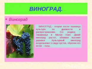 Виноград Виноград