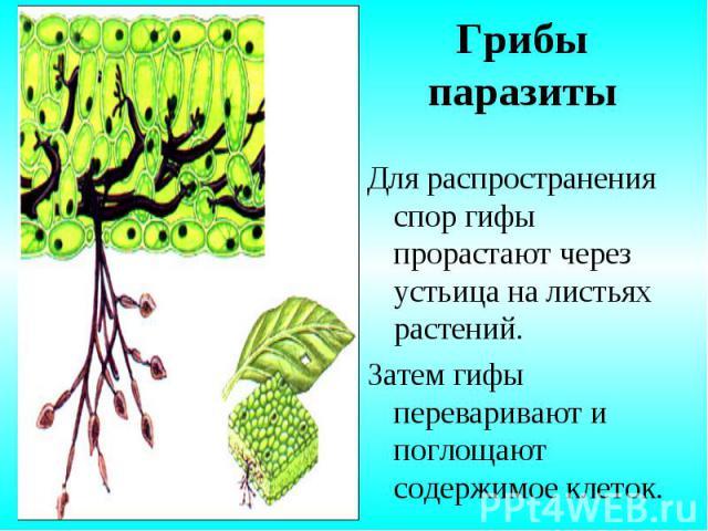 Для распространения спор гифы прорастают через устьица на листьях растений. Для распространения спор гифы прорастают через устьица на листьях растений. Затем гифы переваривают и поглощают содержимое клеток.